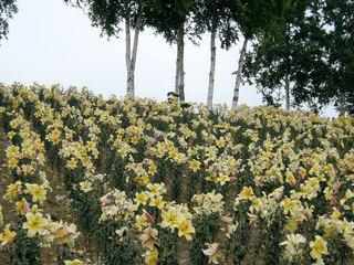 lilypark.jpg
